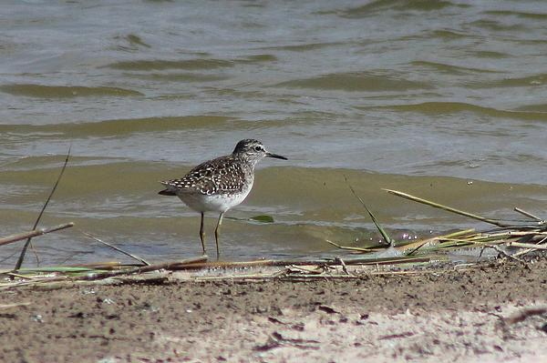 Wood Sandpiper by Mary Brazier©