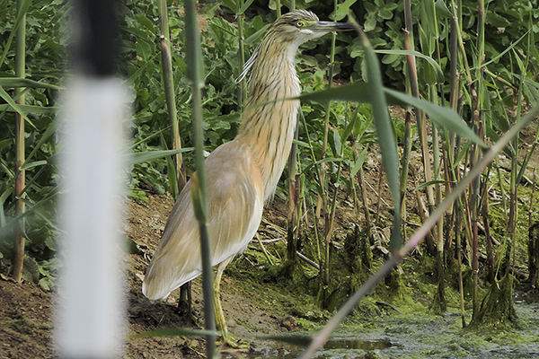 Squacco Heron  by Bryan Thomas©
