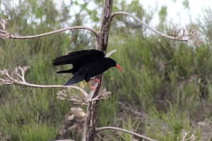 Red billed Chough by John Brazier©