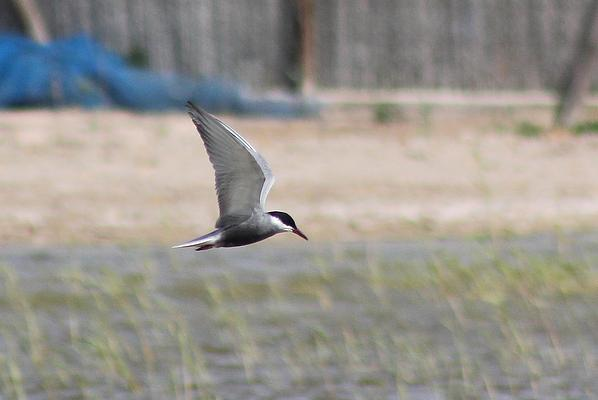 Whiskered Tern by Mary Brazier©