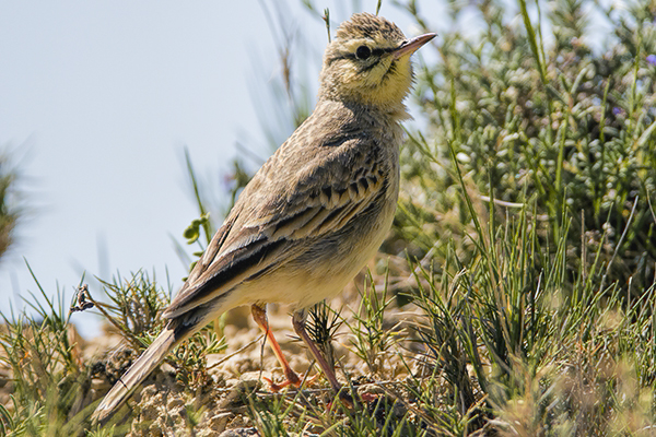 Tawny Pipit by Bryan Thomas©