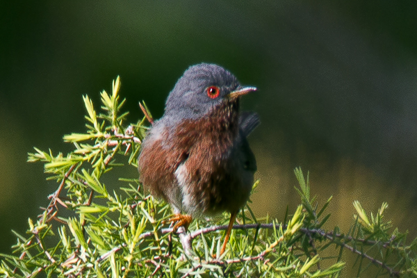 Dartford Warbler  by Bryan Thomas©