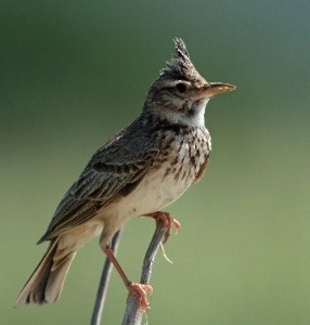 Crested Lark by David Shallcross©