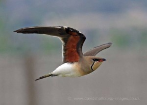 Collared Pratincole by David Shallcross©
