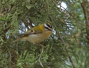 Firecrest by David Shallcross©