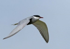 Whiskered Tern by David Shallcross©