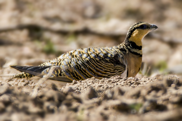 Pin tailed Sandgrouse (male)  by Bryan Thomas©