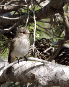 Spotted Flycatcher  by Barry Chambers©