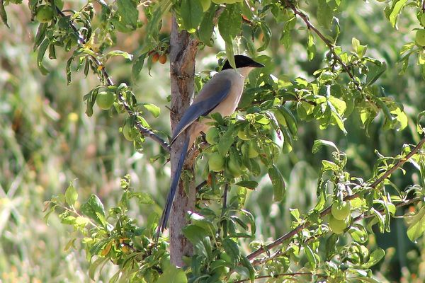 Azure Winged Magpie by Mary Brazier©