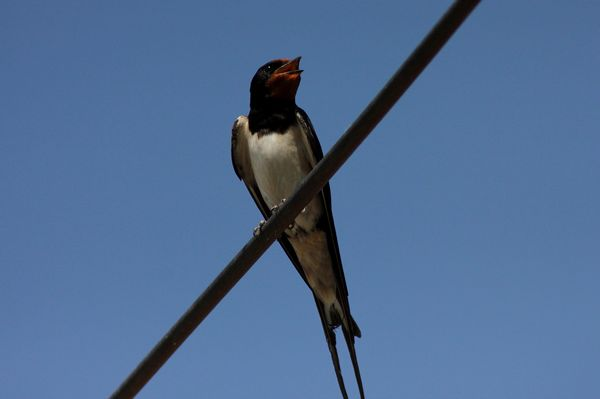 Swallow by Mary Brazier©