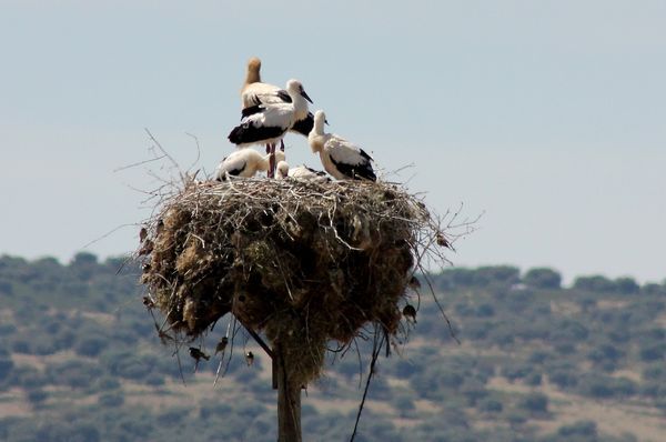 White Storks with Sparrows  by Mary Brazier©