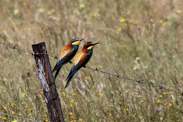 Bee eaters  by Mary Brazier©
