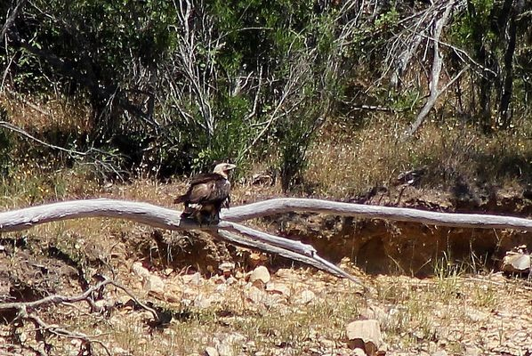 Spanish Imperial Eagle  by Mary Brazier©