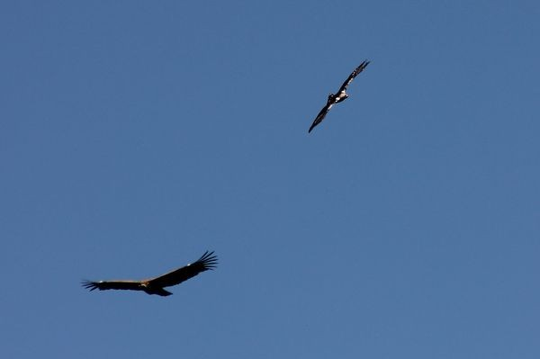 Griffon Vulture and Spanish Imperial Eagle  by Mary Brazier©