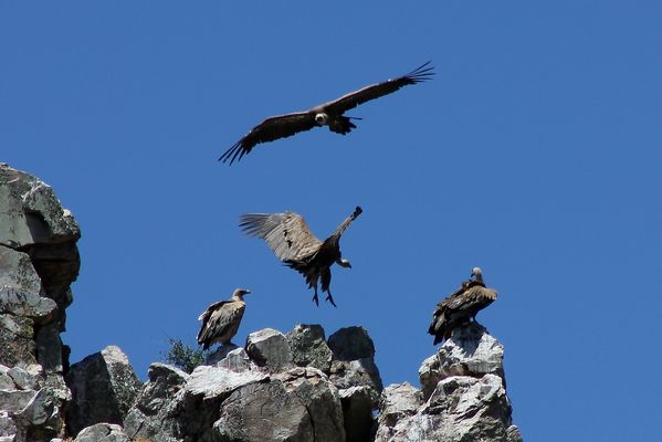 Griffon Vultures by Mary Brazier©