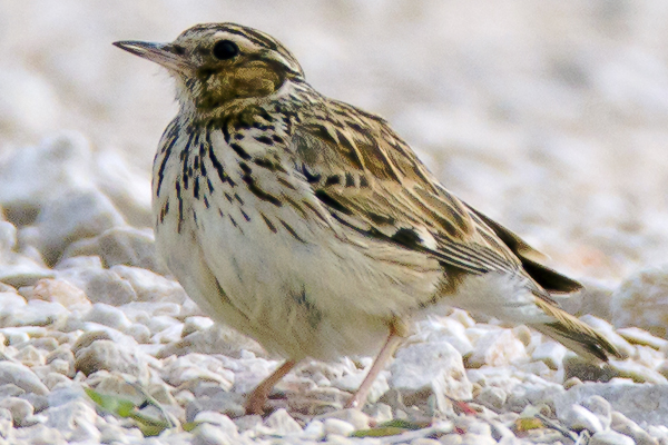 Woodlark  by Bryan Thomas©