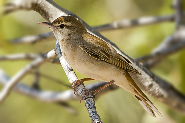 Rufous Bush Robin by Bryan Thomas©