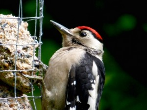 Great Spotted Woodpecker by JohnBrazier©