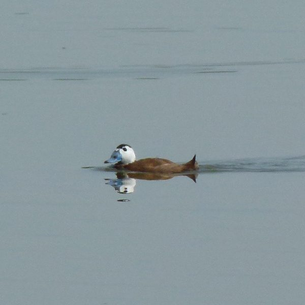 White headed Duck by Malcolm Palmer©