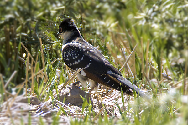 Great Spotted Cuckoo by Bryan Thomas©