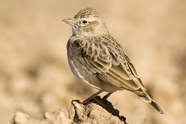 Short toed Lark by Bryan Thomas©