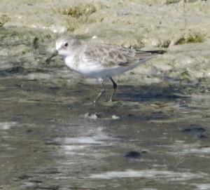 Little Stint by Barry Chambers©
