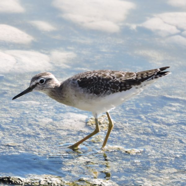 Wood Sandpiper by Dave Eddy©