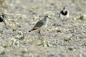 Sociable Plover by Bryan Thomas©