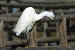 Little Egret by John Brazier©