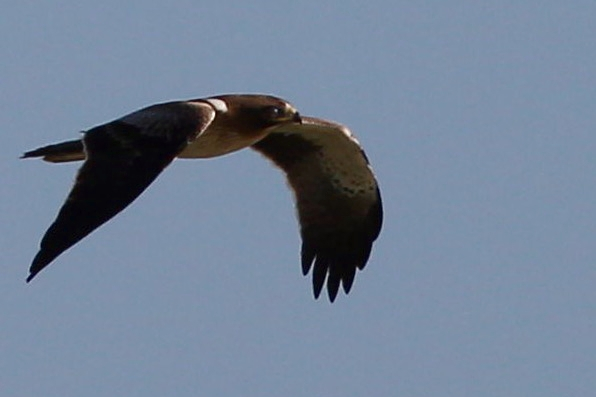 Booted Eagle by Edward Humphreys©