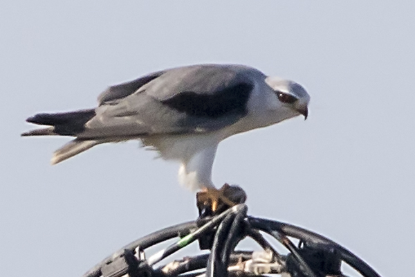 Black Shouldered Kite by Bryan Thomas©
