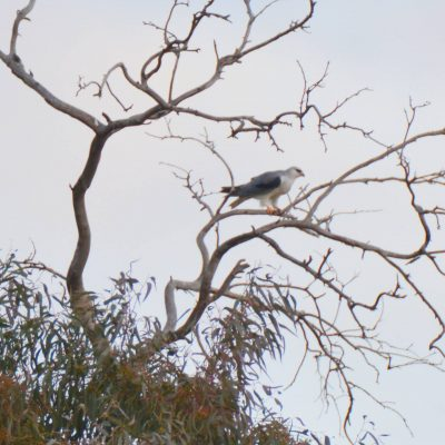 Black Shouldered Kite by Ken Waller©