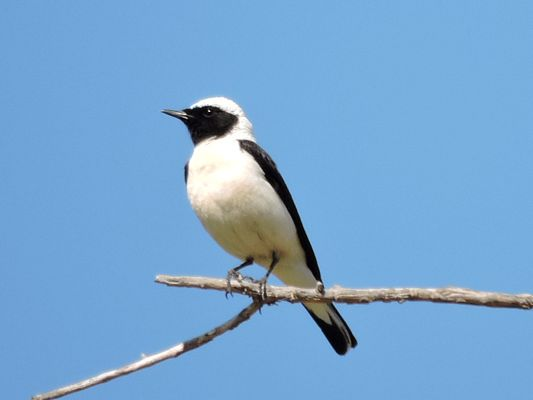 Black eared Wheatear by Dave Eddy©