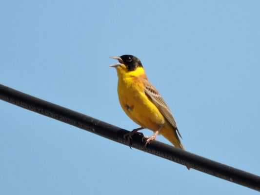 Black headed Bunting by Dave Eddy©