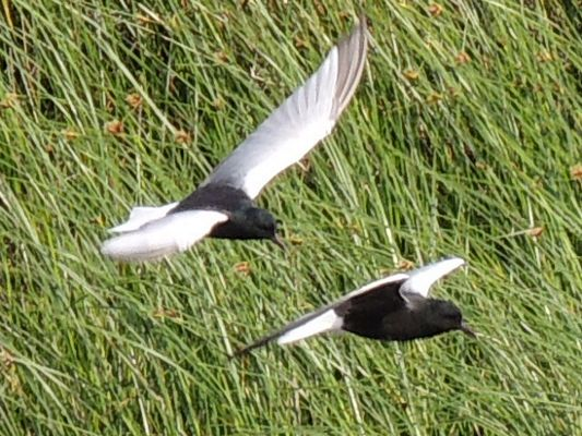 žWhite Winged Terns by Dave Eddy©