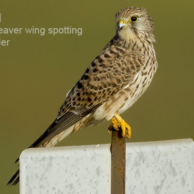 Common Kestrel by Bryan Thomas©