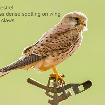 Lesser Kestrel by Bryan Thomas©