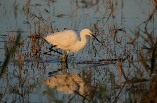 Little Egret by Erik Hagen©