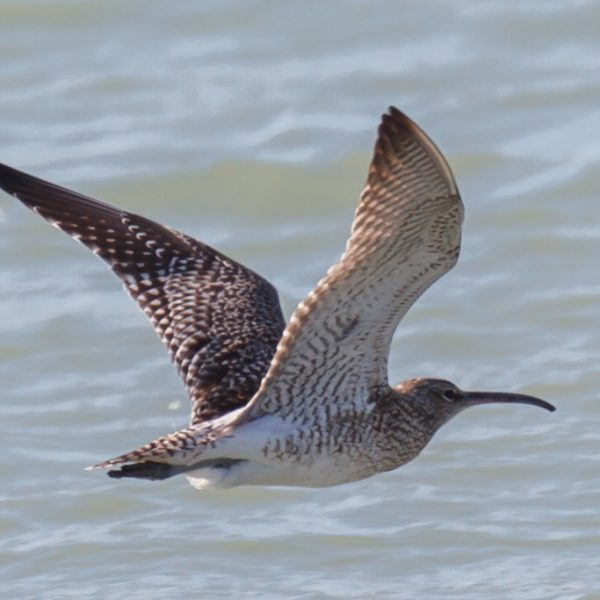 Whimbrell by Michael J Norton©
