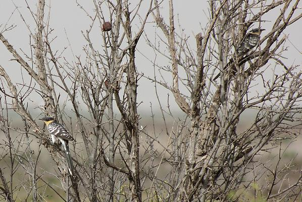 Great Spotted Cuckoos by Mary Brazier©