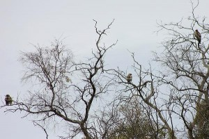 Booted Eagles by Mary Brazier©