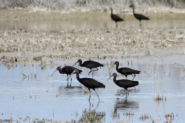 Glossy Ibis  by Mary Brazier©
