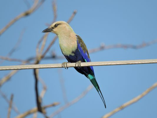 Blue bellied Roller  by Dave Eddy©