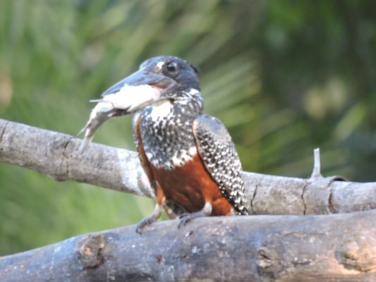 Giant Kingfisher  by Dave Eddy©
