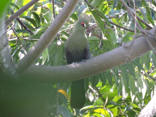 Green Turaco  by Dave Eddy©