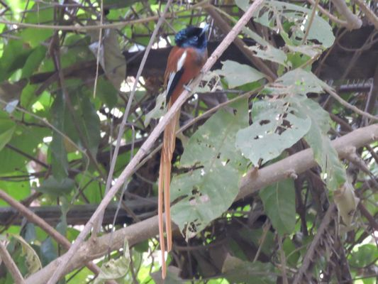 Red bellied Paradise Flycatcher  by Dave Eddy©