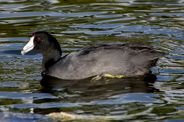American Coot by Bryan Thomas©