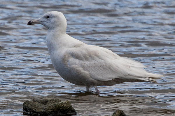 Glaucous Gull by Bryan Thomas©
