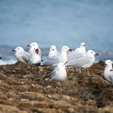 Audouin's Gulls and more at Javea – Nigel Bentley