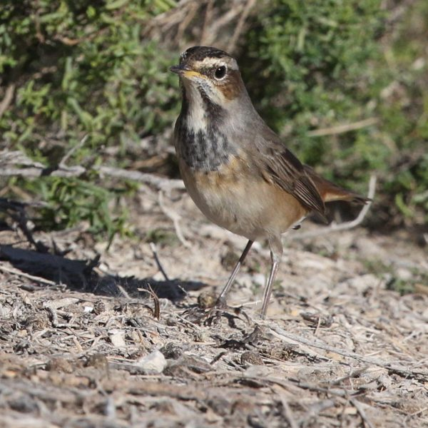 Bluethroat by Edward Humphreys©